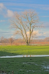 Bare tree in a meadow reflecting in a puddle of water in Bourgoyen nature reserve, Ghent, Flanders, Belgium