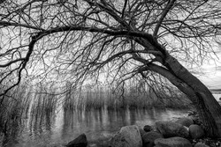 Bare tree in blaScene of a tree above the lake. Tree in winter with dry and bare branchesck and white