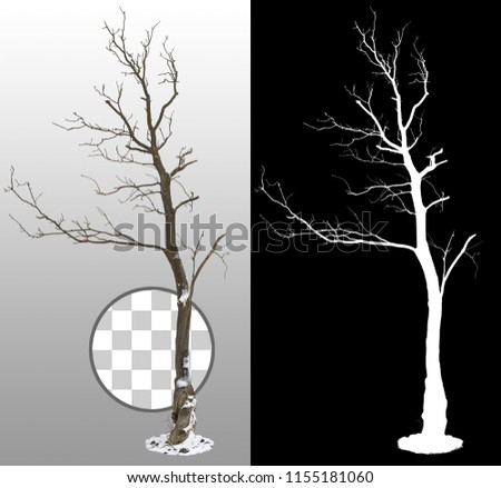 Bare tree without leaves in winter. Snow covered tree isolated on transparent background via an alpha channel. High quality mask without unwanted edge. High resolution for professional composition