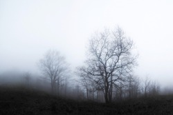 Bare trees in the winter fog
