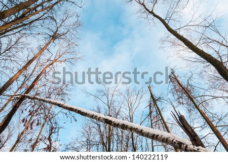 Bare winter or spring forest with broken birch covered with snow in foreground and blue cloudy sky in background. Wood with broken trees in view from below. Environment and ecology.