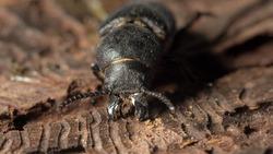 bark beetle eats tree
