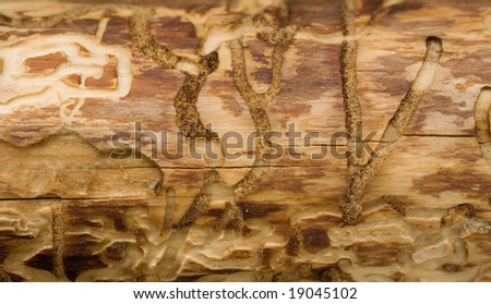bark beetle tracks on tree trunk