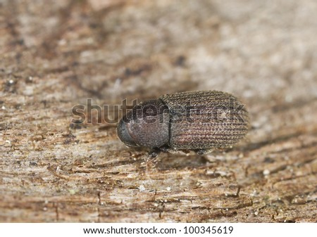 Bark borer beetle on wood, this beetle is a pest on woods, extreme close-up with high magnification - stock photo