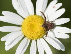 Bark Crab Spider Eating an Insect on a Daisy
