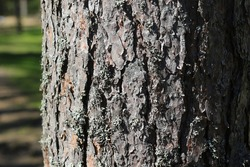Bark of a pine tree trunk in the forest on a sunny spring day. Enviroment protection from fire.