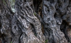 Bark of ancient olive tree with spooky shapes of hands and faces