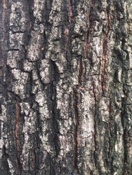 Bark of Mimusops elengi L. or Bullet wood tree, close up view.