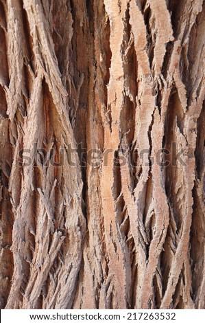 Bark of old Tamarix tree texture with sunshine