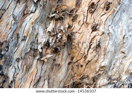 Bark of the old eucalyptus