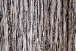 Bark of tree close up with dots made by insects. Tree damaged by bark beetle. Background and wallpaper picture with vertical lines. Wooden natural texture in grey and light brown.