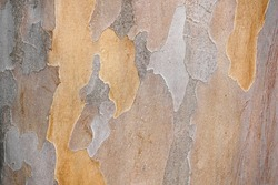 Bark texture and pattern. Extraordinary background. Japanese stewartia distinctive bark smooth textured,mottled appearance with patterns of dull orange and green with grey mixed.