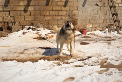 Barking dog. Angry dog fiercely guards. Watchdog is guarding a house in the countryside in cold weather, winter, snow. Dogs are very important in the village, they're used to guard homes and livestock
