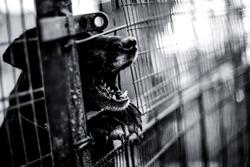 Barking dog behind the fence