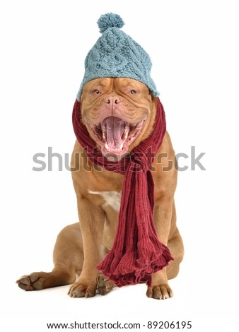 Barking dog with winter clothes