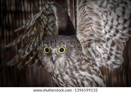 Barking Owl, Owl, Talons, Nocturnal, Birds, Bird, Feathers, Feather, Predator, Predators, Flight, Wings, Eyes, Closeups, #1396199132