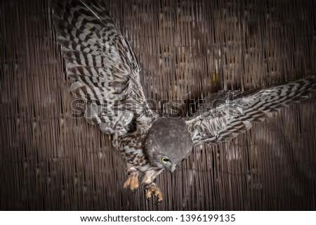 Barking Owl, Owl, Talons, Nocturnal, Birds, Bird, Feathers, Feather, Predator, Predators, Flight, Wings, Eyes, Closeups, #1396199135