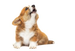 barking puppy looking up, welsh corgi breed