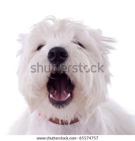 barking West Highland White Terrier  in front of a white background - stock photo