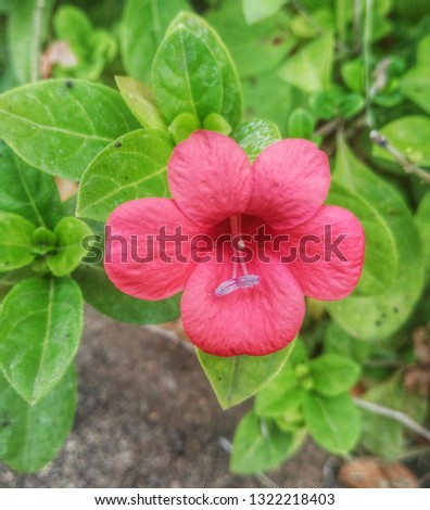 Barleria repens red flower outdoor closeup nature fresh nature beautiful outstanding blooming
