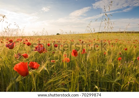 Stock Photo Barley crop with poppies in Toledo province (Spain)