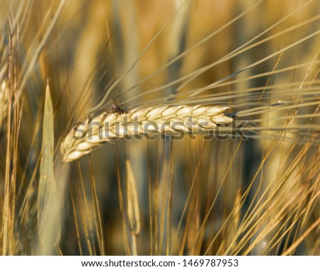 Barley ear in a barley field