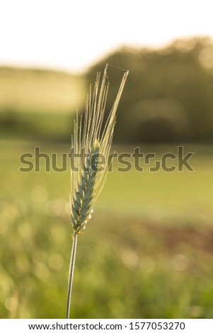 Barley ear in field in a sunset time. Barley grain is used for flour, barley bread, barley beer and animals fodder.