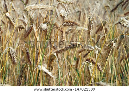 barley field / agriculture