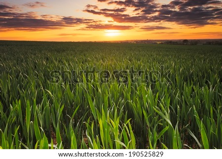 Barley field at Sunset in England.