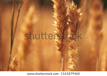 barley field background (agriculture, agronomy, industry) #1161879460