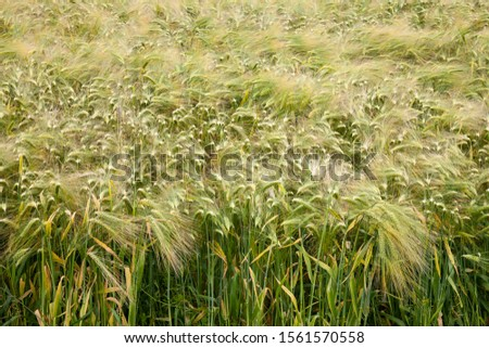 Barley field, Barley (Hordeum vulgare), North Rhine-Westphalia, Germany
