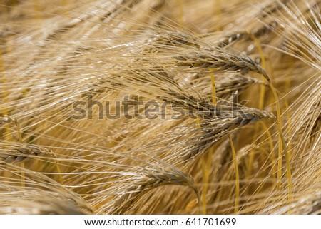 barley field before harvest #641701699