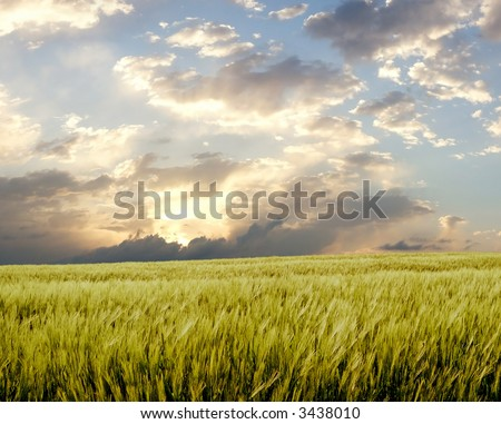 Barley field during stormy day #3438010