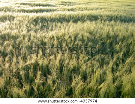 Barley field during the sunset is getting gold - texture