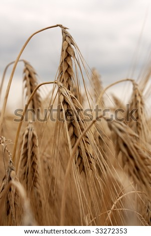 Barley field - golden ears under cloudy skies #33272353