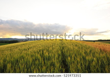 Barley Field in Countryside #525973351