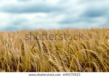 Barley Field in period harvest on background cloudy sky. Barley field detail. Close up. #640570423