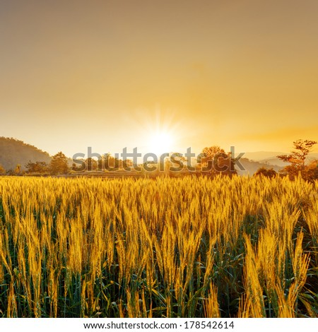 barley field in sunset #178542614