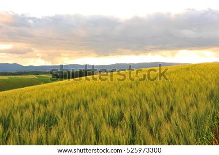 Barley Field in Sunset #525973300