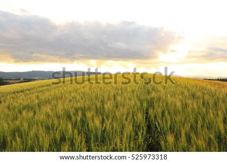 Barley Field in Sunset #525973318