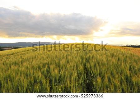 Barley Field in Sunset #525973366