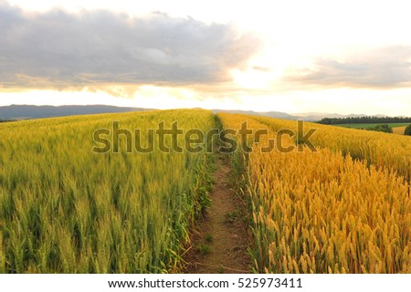 Barley Field in Sunset #525973411