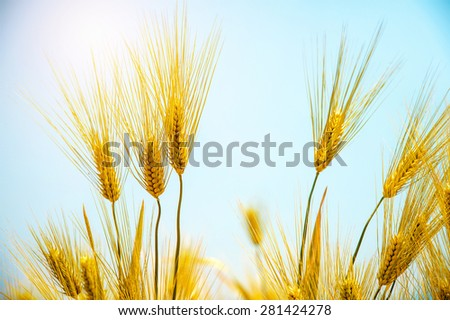 Barley Field,Malt