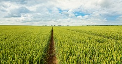 Barley, field of barley and blue sky