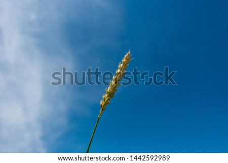 Barley, field of barley and blue sky