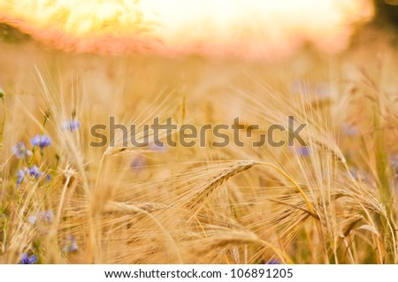 Barley field with cornflowers against sunset sky Stock Photo