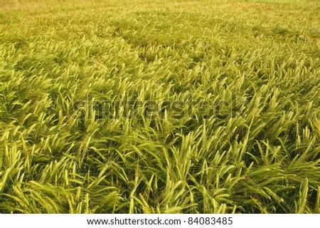 Barley field with golden sunshine in sunset.