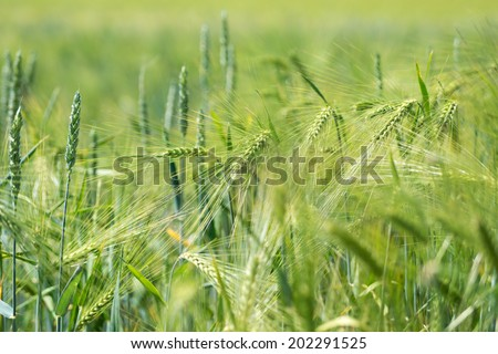 Barley field with young plants / Barley field #202291525