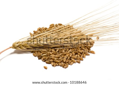 Barley grain and ear over the white