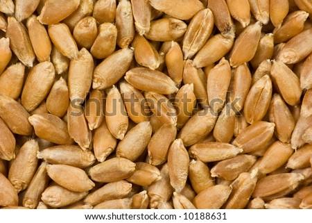 Barley grain close-up